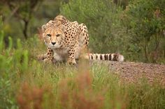 The Cheetah : Facts and interesting information about this species (Acinonyx Jubatus) indigenous wild cat species of Africa Cheetah Pictures, Drug Addiction Recovery, Addiction Quotes, Wild Cat Species, Overcoming Addiction, Hairless Dog, Animal Symbolism, Power Animal, Withdrawal Symptoms