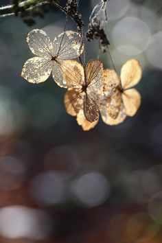 Photo dry hydrangea by Eo NaYa on Big Flowers, Flowers Nature, Beautiful Flowers, Flower Petals, My Flower, Flower Power, Bokeh Photography, Levitation Photography, Not My Circus