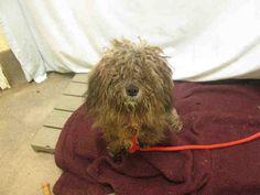 Shih-Poo dog for Adoption in Forestville, MD. ADN-596607 on PuppyFinder.com Gender: Male. Age: Adult