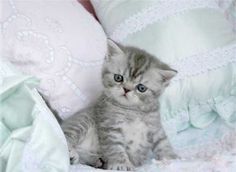 Exotic Shorthair Kitten, poniendo atención...