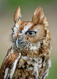 ~~Screech Owl Profile by Deb Simon Photography~~