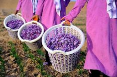 Saffron picking in Afganistan – in pictures
