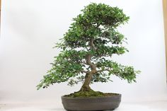 Satsuki Azalea Kogetsu Flowering Bonsai Tree from All Things Bonsai of Sheffield, Yorkshire