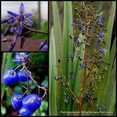 Dianella revoluta Plants x 10 Native Blueberry Lily Blue Flower Native flax Garden Plants $29.90