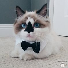 Basically, Albert is the most dapper, adorable munchkin kitty in the world and he is bound to be the newest internet sensation. | Albert Is The Cutest Munchkin Cat You Will Ever See