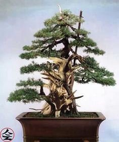 Juniperus, 300 years old - fb page Bonsai Kai