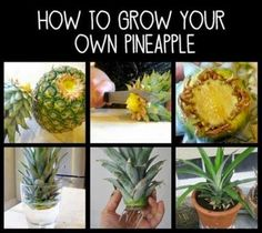 How to Grow Your Own Pineapple Plant #Organic_Gardening