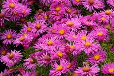 "Aster ""Alice haslam"""