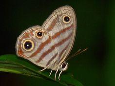 https://flic.kr/p/7BrtS7 | Euptychia rufocincta RocheCorail nord 070210 AV 1000 | Euptychia rufocincta Satyrinae Nymphalidae  Roche Corail, Kourou Guyane  --  French Guiana  7 février 2010