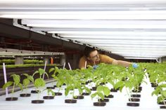 Basil growing hydroponically under fluorescent grow lights at FarmedHere in suburban Chicago...
