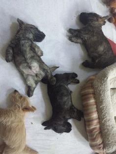 Nothing cuter than Scottie puppies, especially when they are sleeping! Nothing cuter than Scottie puppies, especially when they are sleeping! Cairn Terrier Welpen, Cairn Terrier Puppies, Bull Terriers, Boston Terrier, Puppies And Kitties, Cute Puppies, Cute Dogs, Doggies, Poodle Puppies