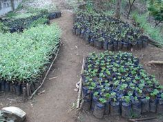 Starting an edible tree nursery - possible money making idea :-)