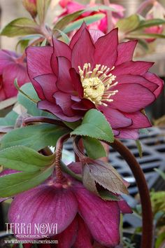 Helleborus Winter Jewels™ 'Red Sapphire' - Glowing, double, rose red flowers - so rich! It is a very well branched and free blooming strain. Takes shade and is deer-resistant.