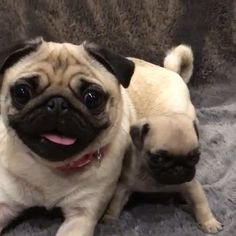 """Visit our site for even more information on """"pug puppies"""". It is actually an outstanding place to read more. Cute Baby Pugs, Cute Dogs And Puppies, Bulldog Puppies, Pet Dogs, Pets, Doggies, Terrier Puppies, Bull Terriers, Boston Terrier"""