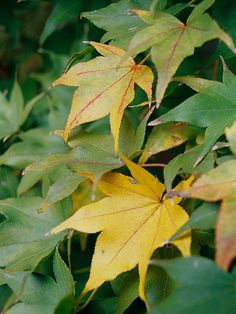Hogyoku Japanese maple A great time-tested selection, this mid-sized maple bears rich-green leaves that turn bright orange in autumn. It's sturdy and tolerates heat better than many other varieties.  Name: Acer palmatum 'Hogyoku'  Growing Conditions: Part shade and moist, well-drained soil  Size: 15 feet tall and wide  Zones: 6-9  Choose It Because: You need a variety that's heat tolerant.