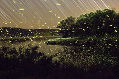 Dream-Like Pictures Of Firefly Light-Trails Captured Using Long-Exposure Photography Firefly Photography, Time Lapse Photography, Exposure Photography, Amazing Photography, Motion Photography, Firefly Painting, Missouri, Shadow Illustration, Long Exposure Photos