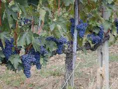 Sangiovese grapes are waiting to become Brunello in a vineyard near Montalcino!