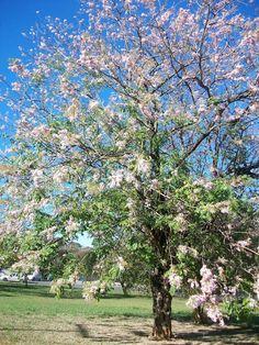 Andira Fraxinifolia - Angelim-rosa