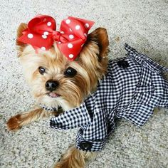 Little Doll ♥ Biewer Yorkie, Teacup Yorkie, Yorkie Puppy, Yorshire Terrier, Silky Terrier, Pet Dogs, Dog Cat, Doggies, Cute Puppies