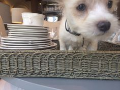 Huck hanging out next to Juliska's Acanthus collection, inside a woven Juliska tray