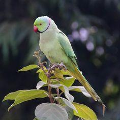 Popat (Ringed Parrot)