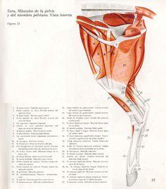 Anatomia Veterinaria: Miembro Pelviano (Toro)