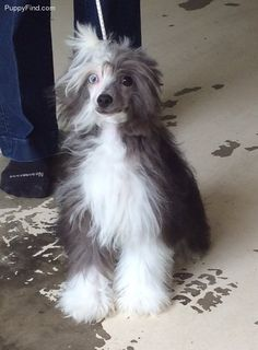 Chinese Crested Pictures (83w12h0c14u)