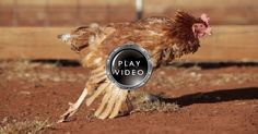 This Hen Released From Battery Cage, Her Reaction When She Feels The Ground For The First Time Is So HEART-WARMING!!!