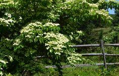 Kouza Dogwood and split rail fence