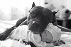 Uplifting So You Want A American Pit Bull Terrier Ideas. Fabulous So You Want A American Pit Bull Terrier Ideas. Cute Puppies, Cute Dogs, Dogs And Puppies, Doggies, Baby Dogs, Awesome Dogs, Totally Awesome, Pit Bulls, American Pit Bull Terrier