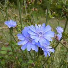 Cichorium intybus - Chicorei Chicory Root, Spring Flowers, Beautiful Landscapes, Planting Flowers, Watercolor Art, Nature, Plants, Unique, Dessert