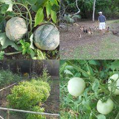 The garden & chickens