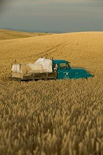 Glamping.......Bed set up on turquoise flatbed truck out in field of wheat
