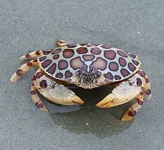 Padre Island National Seashore, Texas ~ The calico box crab is a brightly colored two- to four-inch crab, with red patches on a gray to pale yellow carapace.This coloring enables it to bury itself in sandy areas of shallow waters, and blend into the substrate to hide.Its range includes most of the entire Gulf of Mexico, where they are relatively common.   #South #Southern #crab