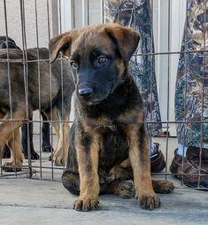 www.elitek-9.com/   #malinois #malinoisofinstagram #maligator #executiveprotectiondogs #exotics Executive Protection, Malinois, Working Dogs, Dog Training, Labrador Retriever, Puppies, Animals, Doggies, Labrador Retrievers