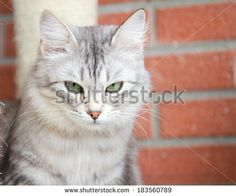 female of siberian cat, silver version - on #Shutterstock