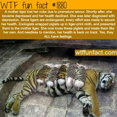 ACTUALLY- this was from a zoo (I forget which country) that did this sort of thing as a publicity stunt all the time. They put the tiger cubs with the mama pig, and lots of other stuff. Not exactly safe for any of the pigs. Please stop sharing this as an inspirational story.