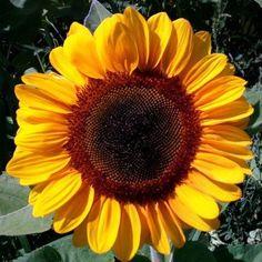 Sunflower Vincent's Choice F1
