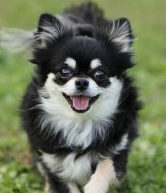Cutest LongHaired Chihuahua Pictures Cute Pictures of