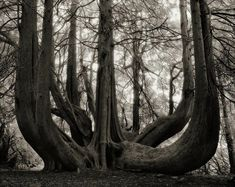 The Most Ancient and Magnificent Trees From Around the World The Great Western Red Cedar of Gelli Aur. Llandeilo, Wales, This grand multi-trunked Great Western Red Cedar is thought to have been planted in BETH MOON Specimen Trees, Unique Trees, Old Trees, Great Western, Western Red Cedar, Foto Art, Tree Forest, Plantation, Mother Nature
