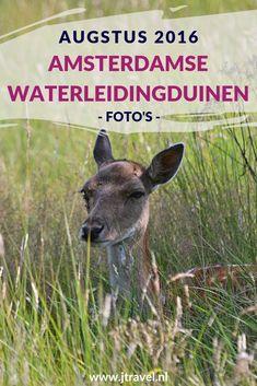 In augustus 2016 maakte ik twee wandelingen in de Amsterdamse Waterleidingduinen. Eén vanaf de ingang Panneland en de andere wandeling vanaf ingang Oase, waar ook het bezoekerscentrum te vinden is. Ik spotte opnieuw veel damherten en genoot van de schitterende natuur. Kijk je mee wat ik allemaal zag? #awd #amsterdamsewaterleidingduinen #damhert #wandelen #hiken #natuur #jtravel #jtravelblog #fotos