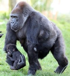 Gorilla carrying his baby
