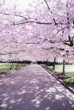 Cherry Blossoms in Copenhagen