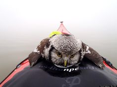 A lone kayaker in Finland noticed an object floating in the water.  Once he got closer, he noticed that the moving figure jutting out of the water was not an otter or another marine mammal, but an owl.  Fearing the bird would die of hypothermia, he rowed closer and helped the owl onto the front of his kayak. That's when he snapped this incredibly striking photo.  After warming up a bit it flew off on its own.