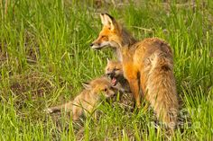 A mama fox and her kits play along a hillside in Yellowstone National Park.