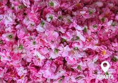 Isparta Rose Harvest