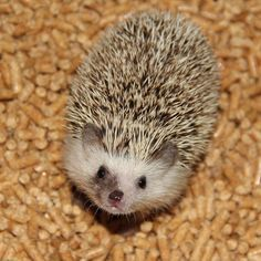 what a beautiful hedgie!!!!