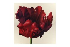 One Kings Lane - Dutch Touch - Parrot Tulip