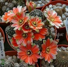 Súvisiaci obrázok Container Flowers, Virtual Flowers, Rare Flowers, Amazing Flowers, Beautiful Flowers, Cacti And Succulents, Cactus Plants, Cactus Types, Unusual Plants