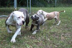 Iron Cobra, Dog Pounds, Labrador Retriever, Puppies, Dogs, Animals, Labrador Retrievers, Cubs, Animales